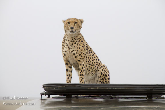 Cheetah on Our Vehicle-8145