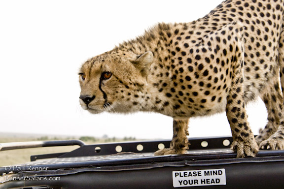 Cheetah on Our Vehicle Roof-7915