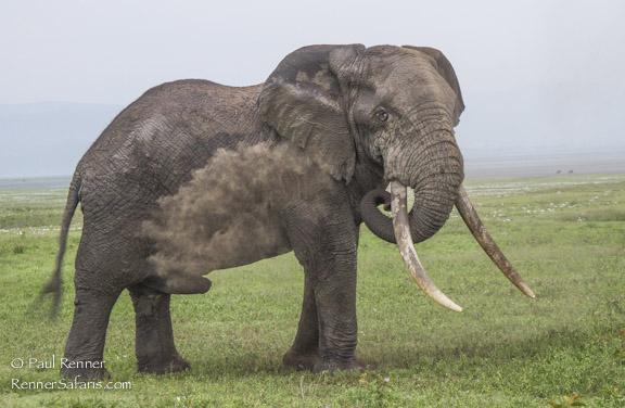 Elephant Giving Himself A Dust Bath-5934