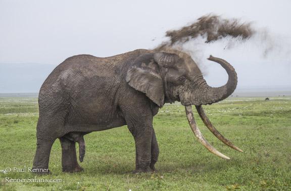 Elephant Giving Himself A Dust Bath-5936