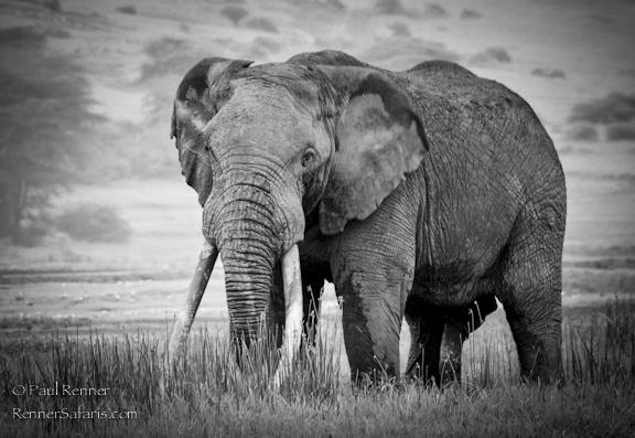 Elephant With Large Tusks- 7290