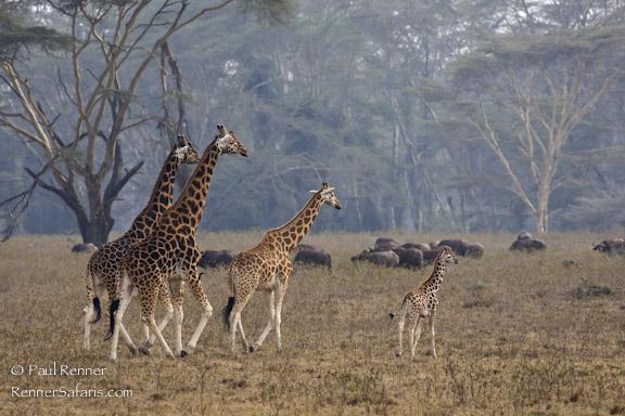 Family of Giraffe-7418