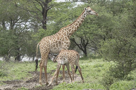 Giraffe Nursing-9009
