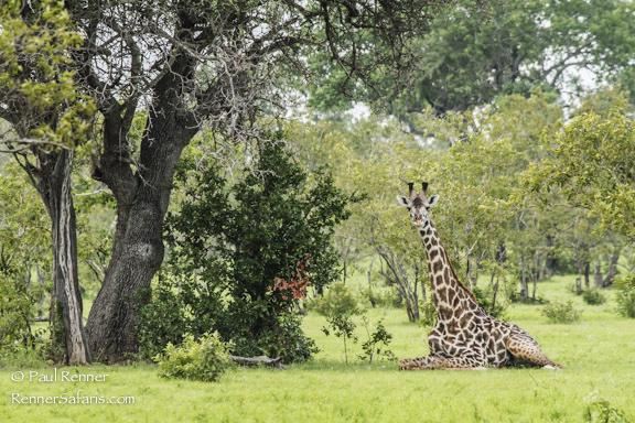 Giraffe Resting-8678