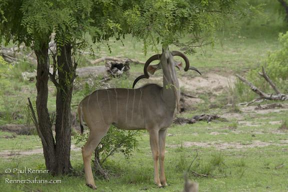 Greater Kudu Eating Tree-8876