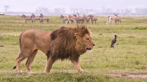 Lion Walking Among Zebras-5519