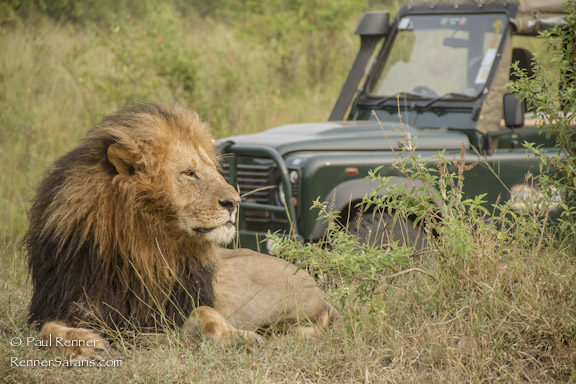 Lion and Safari Vehicle-7551