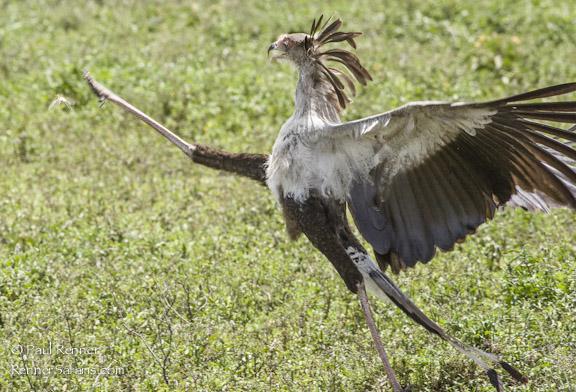 Secretary Bird Trying To Catch Grasshopper-7092