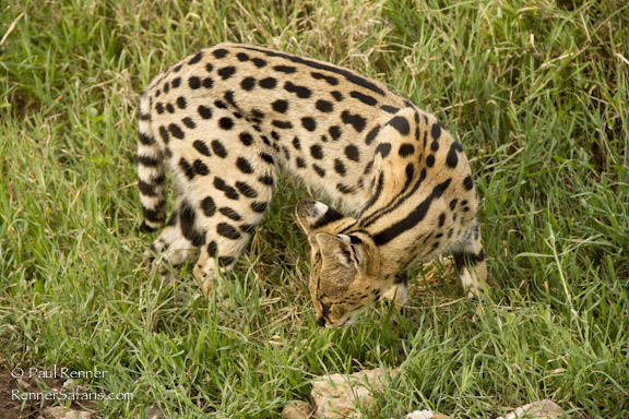 Serval Cat Sniffing Grass-6599