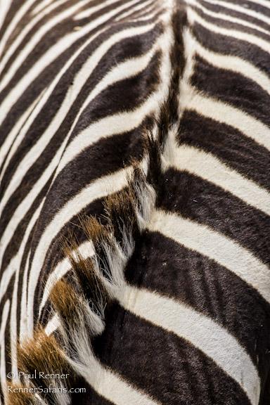 Zebra Patterns-7464