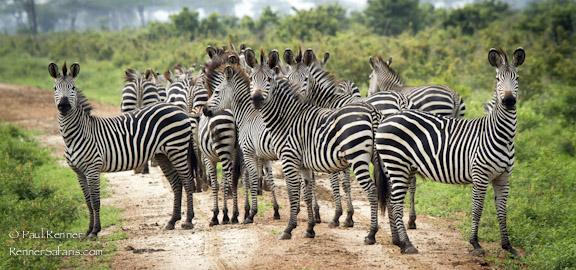 Zebras in Selous-8666