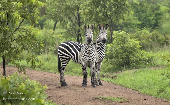 Zebras in Selous, Tanzania-8043