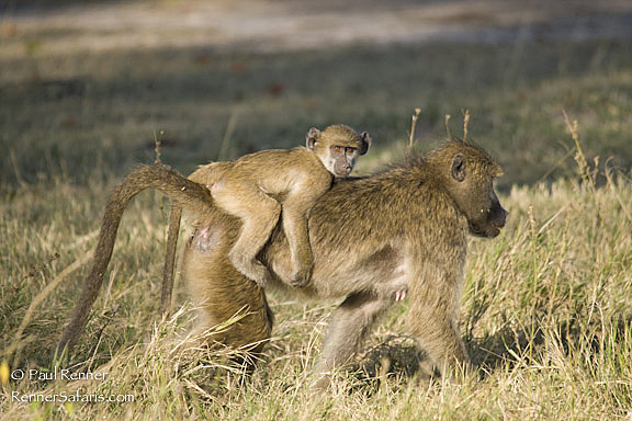 Baboon Riding on Mother's Back-8598