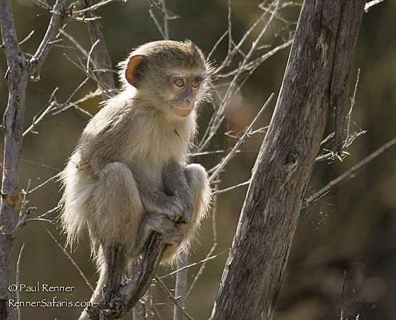 Baby Vervet Monkey-8719