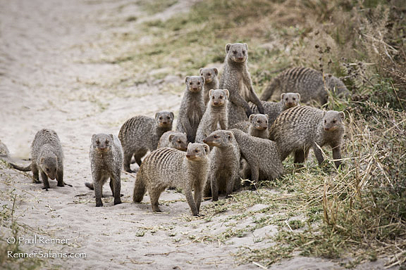 Banded Mongoose-9241