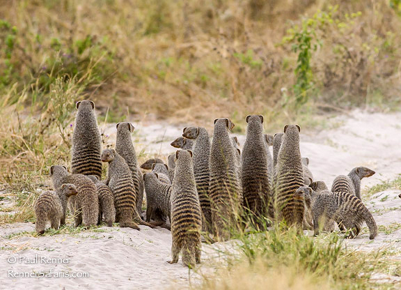 Banded Mongoose-9243