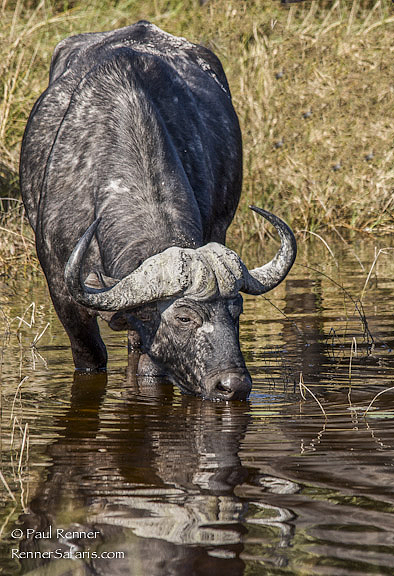 Cape Buffalo Drinking-9016