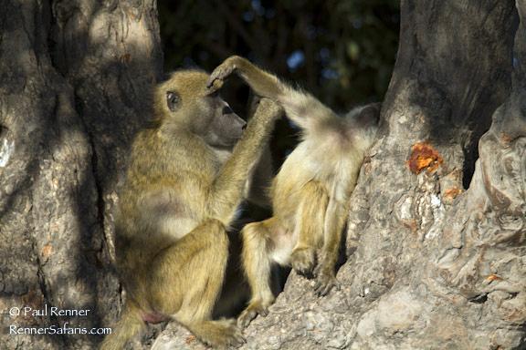 Chacma Baboons Grooming-2802