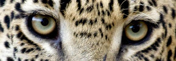 Leopard Eyes-0796