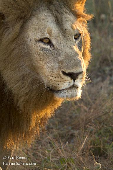 Male Lion-1701