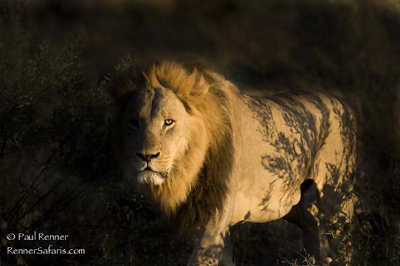 Male Lion-2