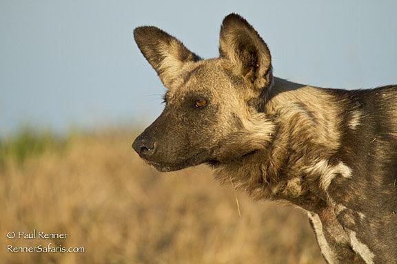 Wild Dog-1467