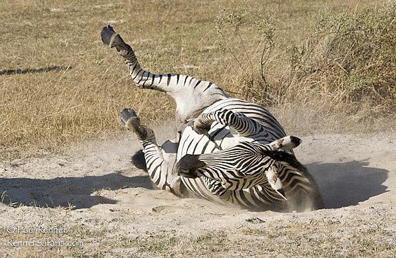 Zebra Enjoying a Dust Bath-8991