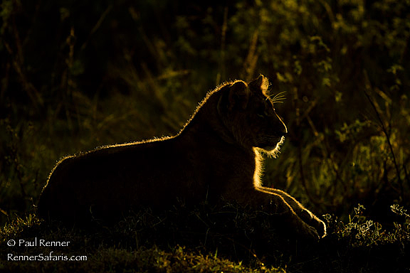 Backlit Lion Cub-9772