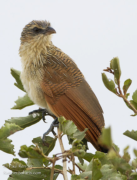 Juvenile White Browed Coucal-3989