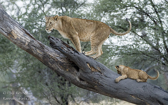 Liioness and Cub on Log-4435