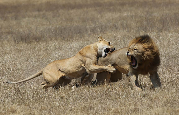 Lioness Attacks Male