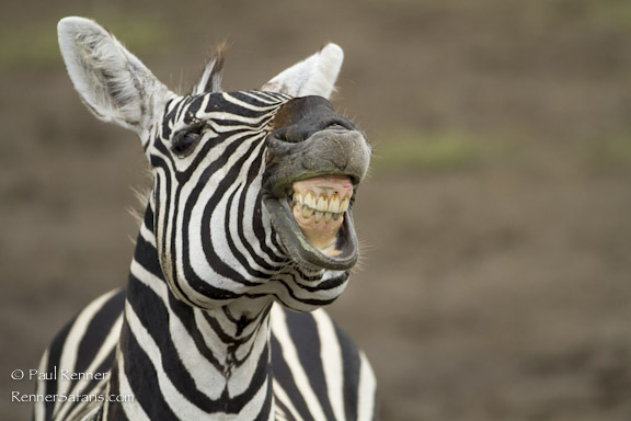 Zebra Showing Teeth-6621