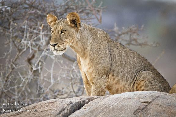 Adolescent Lion Cub-1510