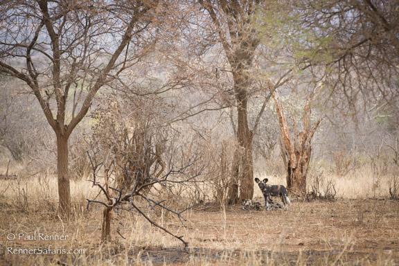 African Wild Dog, Tarangire NP, Tanzania-4164