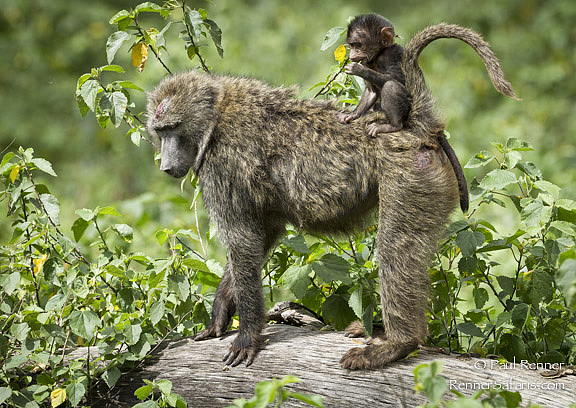 Baboon with Baby on Back-3436