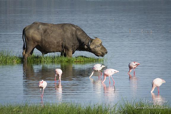 Cape Buffalo with Flamingos-3345