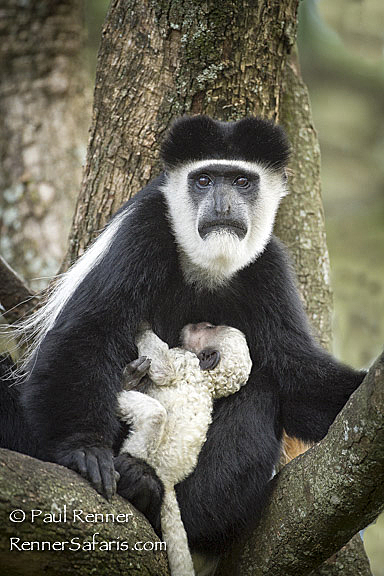 Colobus Monkey Mother and Baby -3883