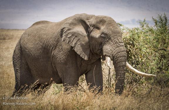 Elephant, Tanzania-3037