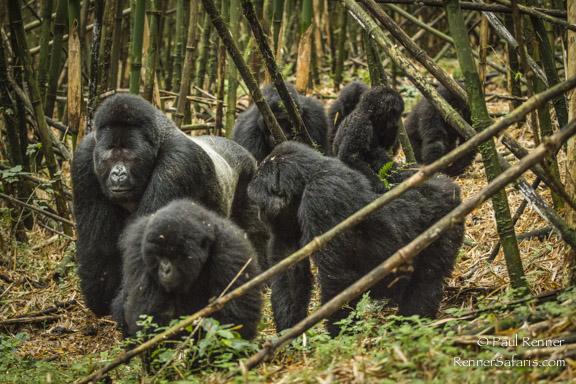 Family of Mountain Gorillas-7596