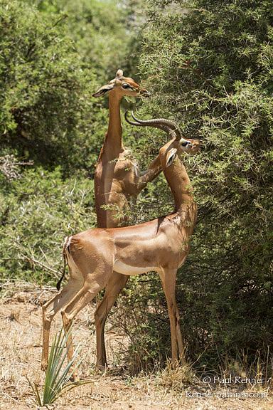 Gerenuk Eating Acacia Leaves-0940