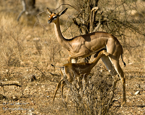 Gerenuk and Fawn-