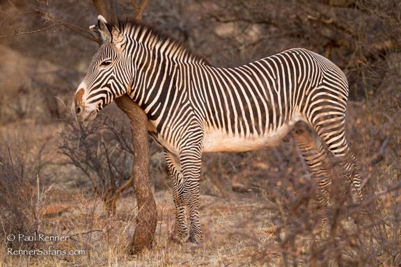 Greveys Zebra Scratching, Kenya-1604