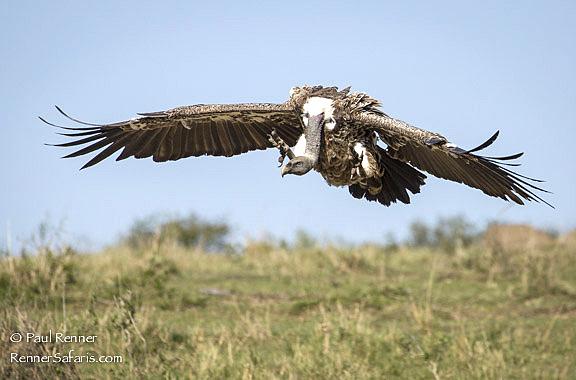 Griffon Vulture, Masai Mara, Kenya-4870