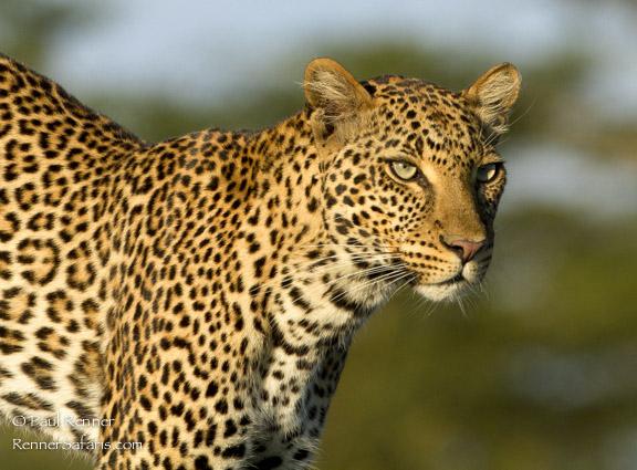 Leopard in Lake Nakuru NP, Kenya-3760