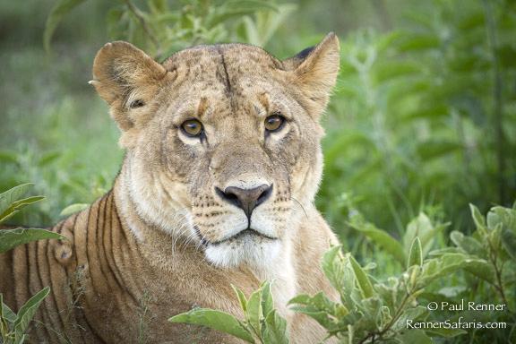 Lioness, Lake Nakuru, Kenya-3176