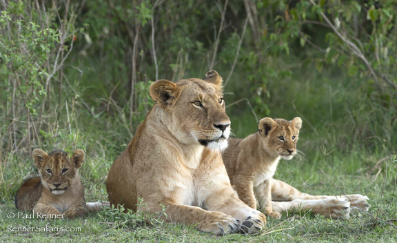 Lioness and Cubs, Masai Mara, Kenya-5105