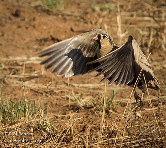 Male Black-Faced Sand Grouse-