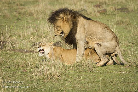 Mating Lions, Masai Mara, Kenya-5152