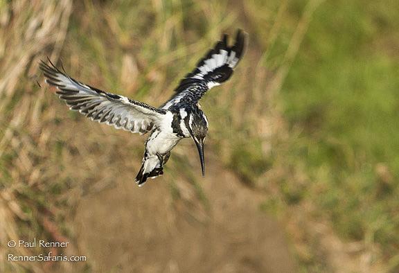 Pied Kingfisher Hovering, Masai Mara, Kenya-5602