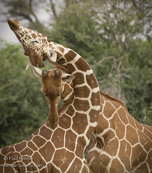 Reticulated Giraffe Fighting, Kenya-3806